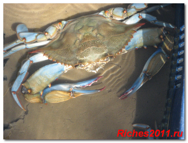 goluboy krab foto